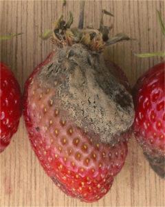 Strawberry fruit rot Botrytis cinerea; Author Rasbak