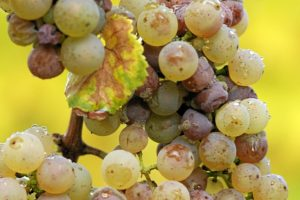 Botrytis cinerea on Riesling grapes. Author Tom Maack